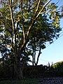Starr-070519-7131-Jacaranda mimosifolia-habit-Makawao-Maui (24521722309).jpg