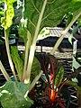 Starr-080103-1263-Beta vulgaris subsp cicla-leaves-Lowes Garden Center Kahului-Maui (24783981472).jpg