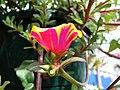 Starr-080103-1362-Portulaca umbraticola-flowers and leaves-Lowes Garden Center Kahului-Maui (24271512164).jpg