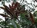 Starr-090426-6340-Calliandra houstoniana var calothyrsus-leaves and seedpods-Kula 200-Maui (24584903929).jpg