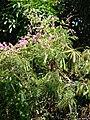 Starr-090604-8920-Antigonon leptopus-flowering habit-Puunene-Maui (24331749874).jpg