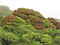 Starr-090618-1068-Mangifera indica-habit with red and green leaves-Hana Hwy-Maui (24334922274).jpg