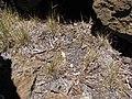 Starr-090628-1932-Bromus diandrus-seeding habit-Science City-Maui (24340761723).jpg