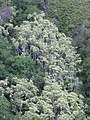 Starr-090714-2933-Aleurites moluccana-grove-Makamakaole-Maui (24602308119).jpg