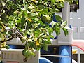 Starr-090721-3263-Psidium guajava-green fruit form-Wailuku-Maui (24602864749).jpg