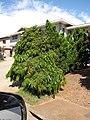 Starr-090803-3558-Polyalthia longifolia var pendula-habit-Waiehu-Maui (24675435480).jpg