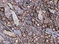 Starr-090804-3782-Macadamia integrifolia-leaves and nuts on ground-MISC HQ Piiholo-Maui (24853309212).jpg