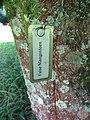 Starr-091104-0887-Garcinia xanthochymus-plant tag-Kahanu Gardens NTBG Kaeleku Hana-Maui (24869797312).jpg