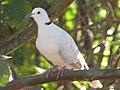 Starr-100113-1215-Psidium guajava-branches with ringneck dove-Waihee-Maui (25006700055).jpg