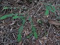 Starr-101219-5524-Sequoia sempervirens-leaves-Waihou Springs-Maui (24690285279).jpg
