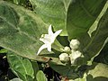 Starr-110215-1434-Calotropis gigantea-flowers-KiHana Nursery Kihei-Maui (24708599469).jpg