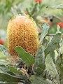 Starr-110307-2518-Banksia menziesii-flower and leaves-Kula Botanical Garden-Maui (24447564644).jpg