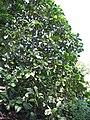 Starr-110330-4129-Tectona grandis-habit-Garden of Eden Keanae-Maui (24450606354).jpg