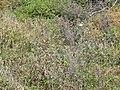 Starr-120513-9498-Argemone glauca-surrounded by Argemone mexicana-Waihee Coastal Preserve-Maui (24512097014).jpg