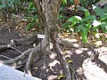 Starr-120522-6048-Syzygium malaccense-roots-Iao Tropical Gardens of Maui-Maui (25024817922).jpg