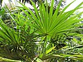 Starr-120522-6265-Coccothrinax crinita-leaves-Iao Tropical Gardens of Maui-Maui (25050130161).jpg