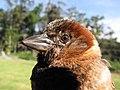 Starr-130602-4668-Cenchrus clandestinus-habitat with juvenile baby House Sparrow in hand-Hawea Pl Olinda-Maui (25093117292).jpg