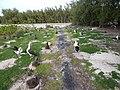 Starr-150403-0559-Coronopus didymus-trail and Laysan Albatrosses-Rusty Bucket Sand Island-Midway Atoll (25184065421).jpg