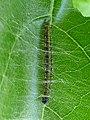 Starr-151211-0736-Cordia subcordata-leaves with kou leafworm Ethmia Ethmia nigroapicella larva sown in for pupating-Honokanaia-Kahoolawe (26192853102).jpg