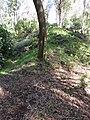 Starr-161219-6358-Eucalyptus sideroxylon-ridge and trails-Hawea Pl Olinda-Maui (32464042685).jpg
