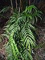 Starr-170304-0152-Pteris cretica-habit-Boundary Trail Polipoli-Maui (32999282040).jpg
