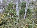 Starr 020501-0050 Cinchona pubescens.jpg