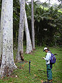 Starr 030807-0072 Corymbia citriodora.jpg