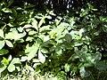 Starr 040423-0318 Terminalia catappa.jpg