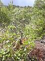 Starr 040731-0058 Melicope adscendens.jpg