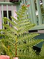 Starr 050407-6303 Unknown pteridophyte.jpg