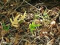 Starr 050419-0340 Phymatosorus grossus.jpg