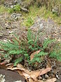 Starr 050815-3429 Pellaea ternifolia.jpg