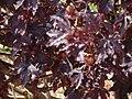 Starr 070221-4832 Hibiscus acetosella.jpg