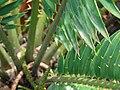 Starr 070306-5126 Encephalartos sp..jpg