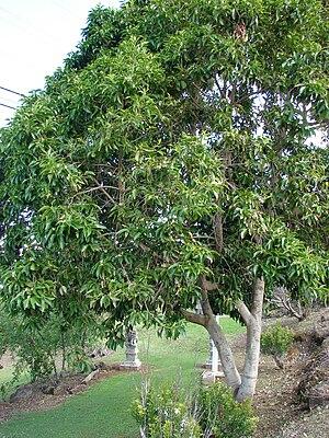 Magnolia × alba - Image: Starr 070320 5723 Michelia x alba