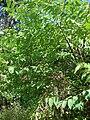 Starr 070321-5911 Trema orientalis.jpg