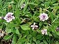 Starr 070815-8044 Phyla nodiflora.jpg