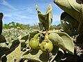 Starr 080603-5632 Solanum nelsonii.jpg