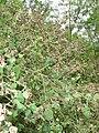 Starr 080610-8436 Abutilon grandifolium.jpg