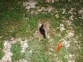 Starr 080613-8866 Eleusine indica.jpg