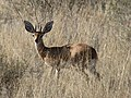 Steenbok (345761486).jpg