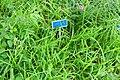 Stenotaphrum secundatum - Urban Greening Botanical Garden - Kiba Park - Koto, Tokyo, Japan - DSC05390.jpg