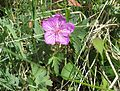 Sticky purple geranium - Flickr - brewbooks (1).jpg