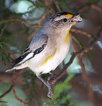 Striated Pardalote.jpg