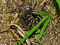 Striped-knee Tarantula (Aphonopelma seemanni) (6944283342).jpg
