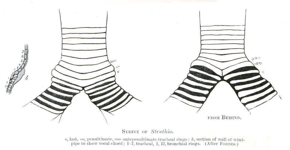 Struthio syrinx