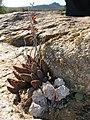 Succulents in habitat- Crassula deceptor (Crassulaceae), Conophytum sp. (Aizoaceae) (4086819473).jpg