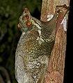 Sunda Flying Lemur (Galeopterus variegatus) (15503697298).jpg