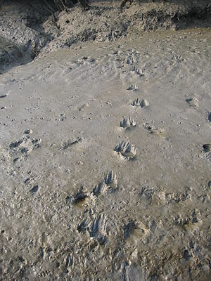 Project Tiger - Tiger pug marks at Sunderbans tiger reserve, West Bengal