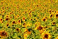 Sunflower fields - I just love these (4450282846).jpg